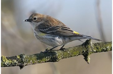 MYRTLE WARBLER-HIGH SHINCLIFFE-COUNTY DURHAM-10TH FEBRUARY 2014