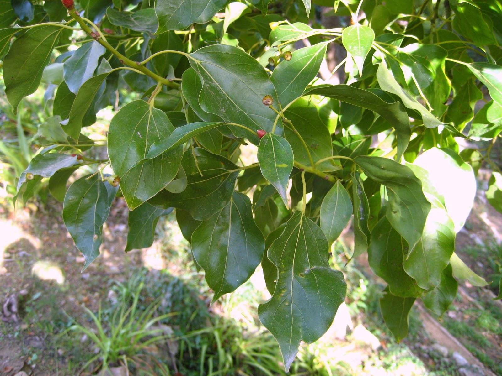 Rboles con alma alcanfor camforer cinnamomun camphora for Arboles de hoja perenne limpios