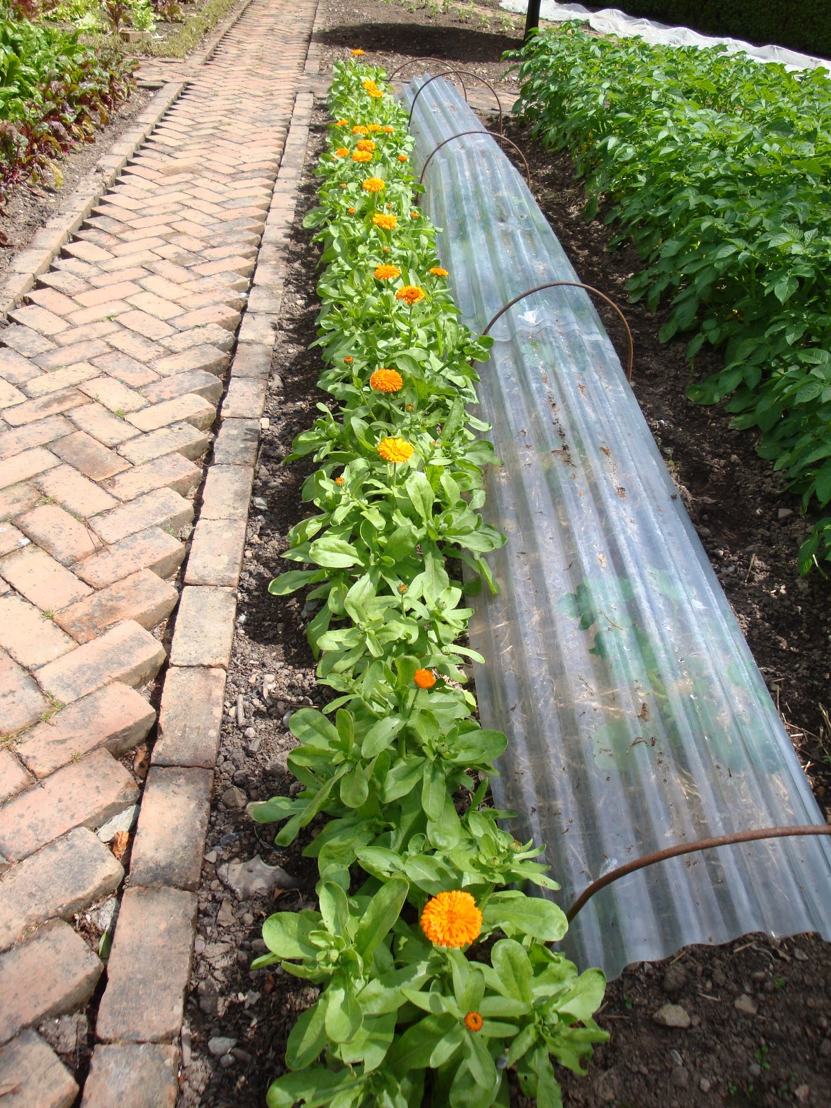 Where To Plant Marigolds In Vegetable Garden Garden Ftempo