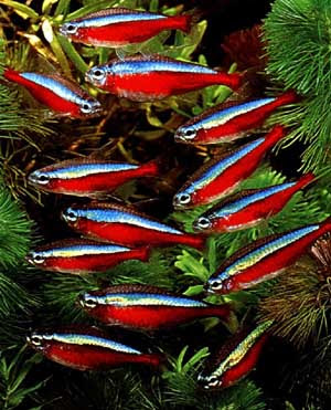 What are some of the most colorful freshwater fish #0: cardinal tetras