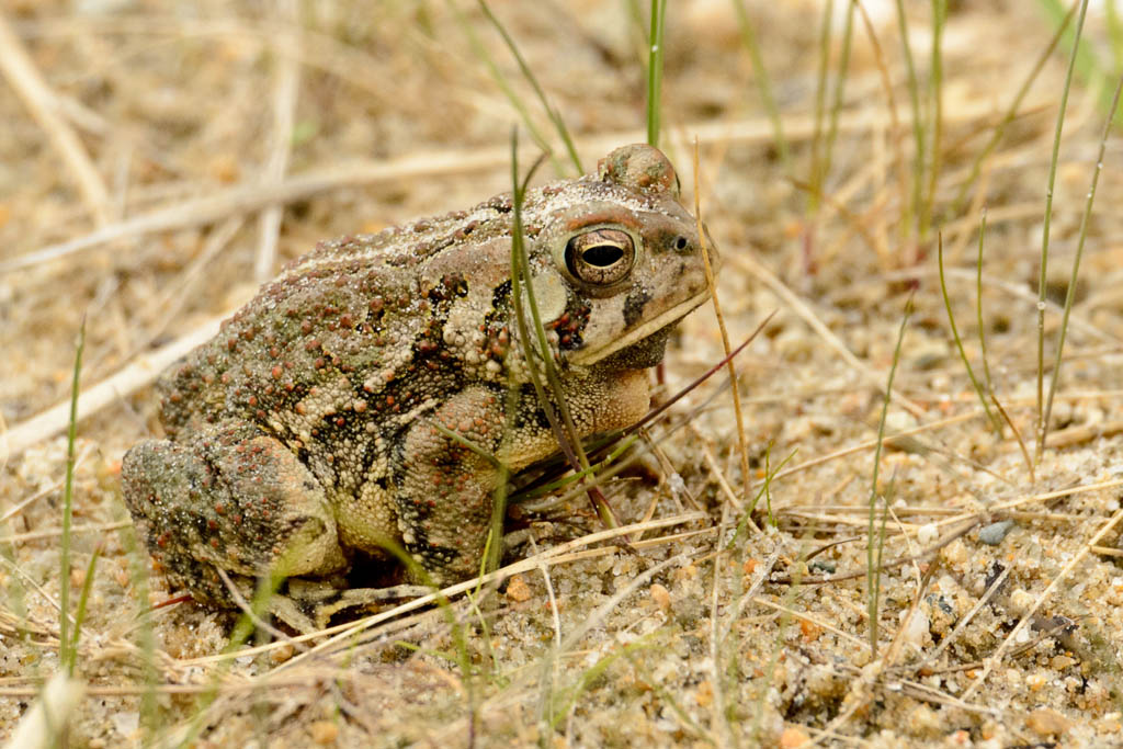 Fowlers Toad vs American Toad American Toad vs Fowler 39 s