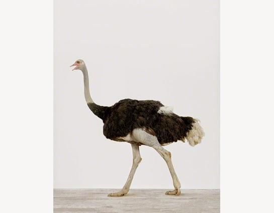 birds desert ostrich hd - photo #18