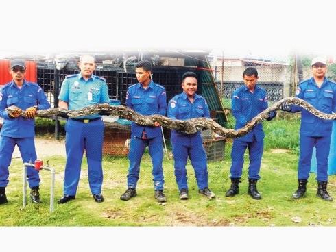 Kaki dibelit ular sawa batik