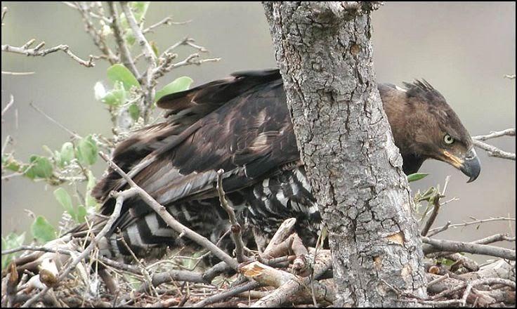 Águila Coronada Sobre el Nido