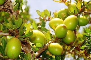 Argan Oil for Hair Growth – Understanding and Using it Right