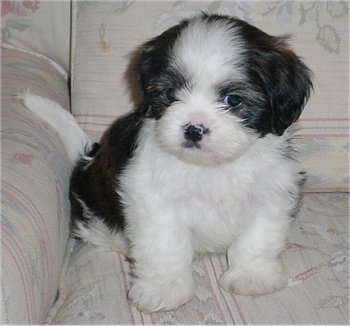 Cute Shih Tzu Puppies Pictures And Dogs Breeders
