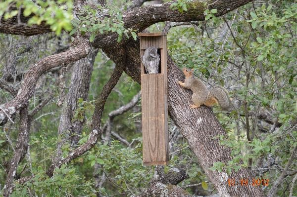 Screech Owl Nest Box and Squirrel