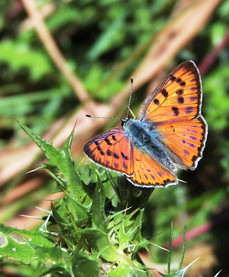 Lycaena alciphron, anverso
