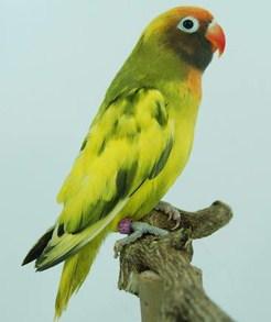 Trik Dan Tips Cara Menyilangkan Burung Love Bird Agar Menghasilkan Warna Yang Berfariasi