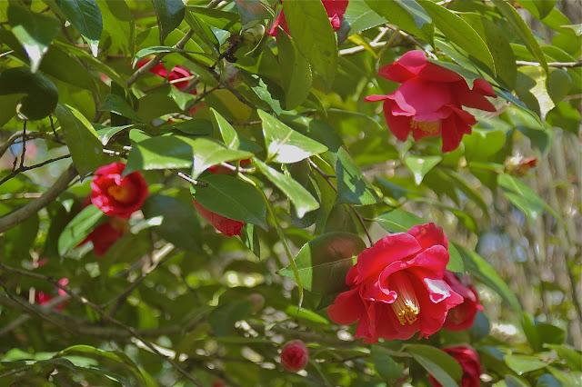 Camellia tree at Tenryu-ji in Kyoto, Japan