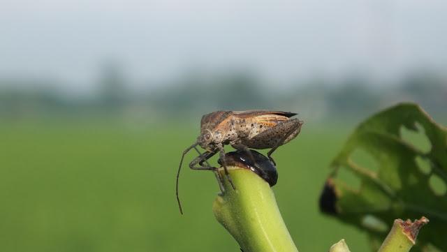 Kumbang Sawah