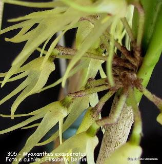 cuja base surge um tufo de pequenas flores, como nas plantas do gêneo Octomeria. Flor de 1 cm de diâmetro