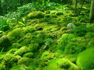 ciri-ciri, klasifikasi dan manfaat tumbuhan lumut