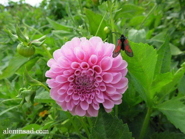 георгина, далия, Dhalia, аленин сад, цветы, июль