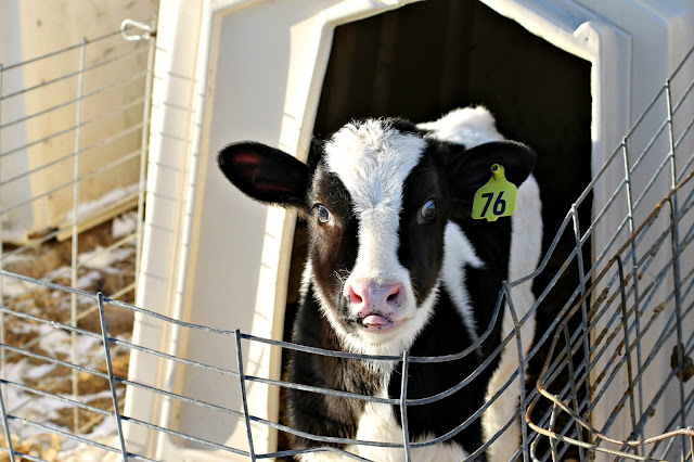 Holstein heifer calf at Whispering Pines dairy farm in Elroy, WI