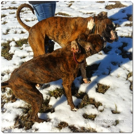 Boxer Geschwister - Baxter und Amy