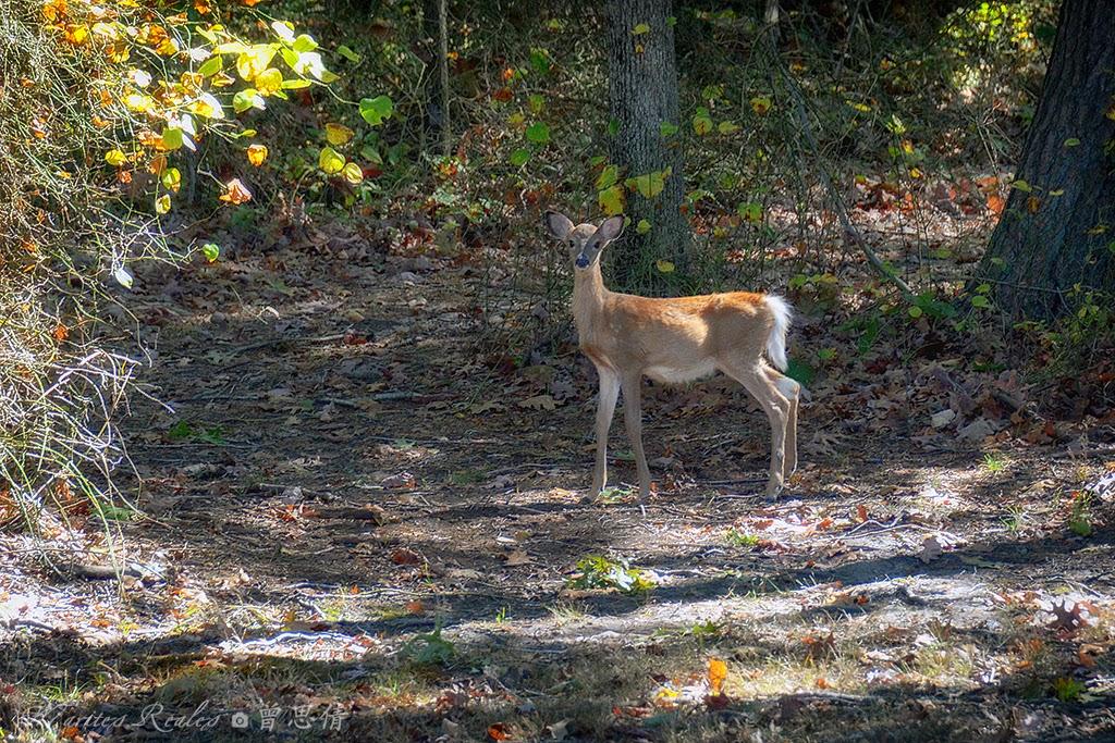 A Young Deer at Willisbrook Preserve, Malvern, PA - Oct 2014