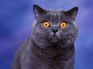 british shorthair cat kitten pets