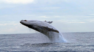 Photographer Ahab pursues white whale 14 years photo looks gray funny