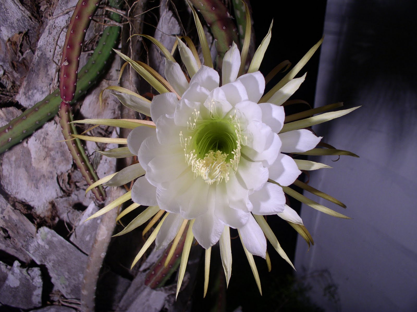 Florida Flowers and Gardens Night Blooming Cereus