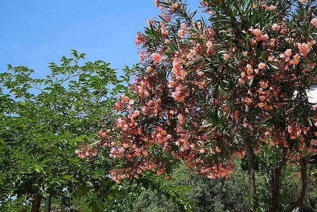 Salmon pink oleander tree