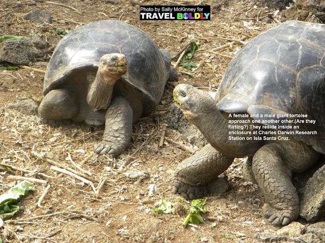 Travel Boldly Galapagos Island - A female and a male giant tortoise approach one another other.(Are they flirting?) They reside inside an enclosure at Charles Darwin Research Station on Isla Santa Cruz.