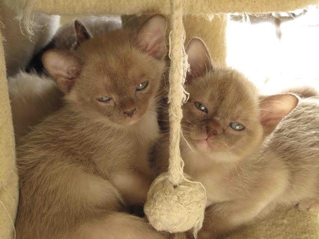 How to groom a Burmese Cat?