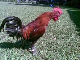 Sejarah asal muasal ayam ketawa