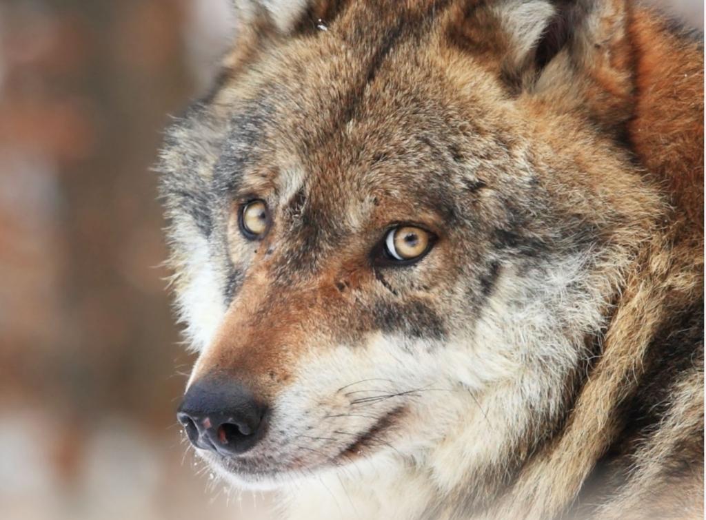Le loup et son mystère - Page Facebook