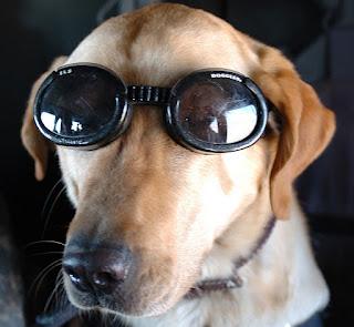 Medium size dog wearing Doggles ILS goggle style sunglasses
