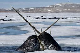 Peneliti Pecahkan Misteri Tanduk 'Unicorn Laut'