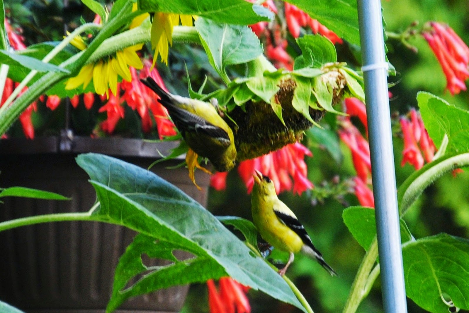 two goldfinches on sunflower