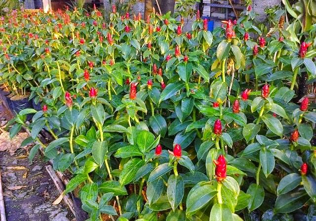 http://tukangtamankaryaalam.blogspot.com/2014/12/pohon-pacing-pentul-tanaman-yang-cocok.html