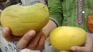 Choosing mangoes, artificially ripened fruit