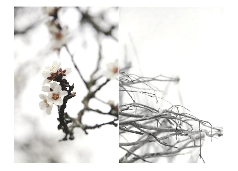 branches dans la neige amandiers en fleur