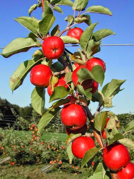 Buah Apel Bikin Awet Muda, Makanan Sehat Menyegarkan, Cara Agar Awet Muda, Kumpulan Buah dan Sayuran pengawet muda