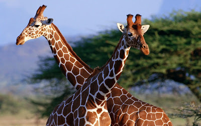 Safari Amazing Funny African Giraffe Image