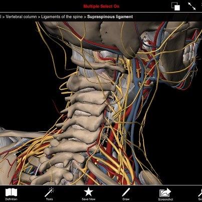 Cervicales, Nervios cervicales, Arteria vertebral