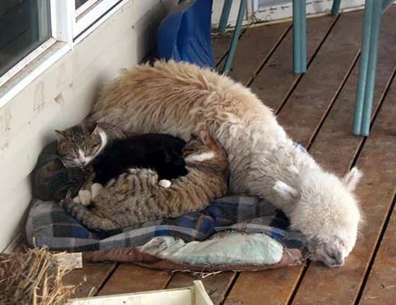foto persahabatan seekor alpaca dan sepasang kucing 03
