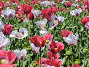 专门为食用培植的品种, 7月中旬才开花。