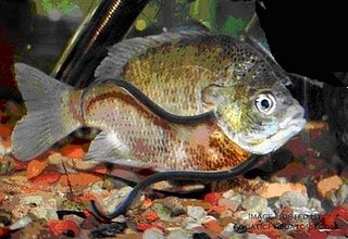 Le Saviez-vous ? Candiru : un poisson dans le caleçon Candiru