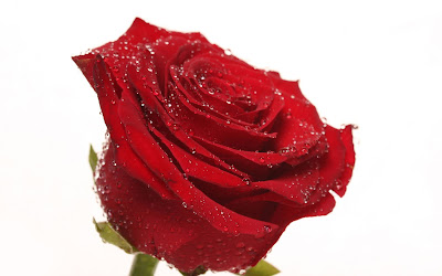 Lovely Red Rose Wallpaper for Desktop