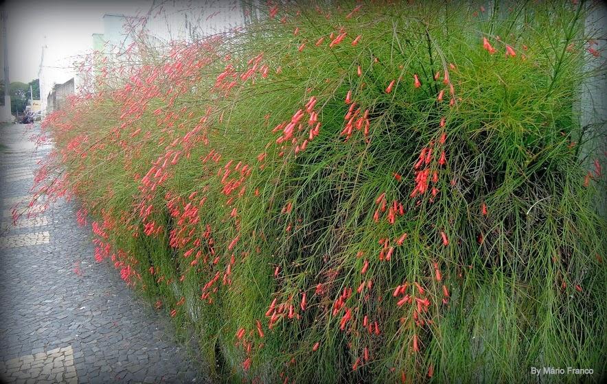 russ u00c9lia  flor-de-coral -   russelia equisetiformis