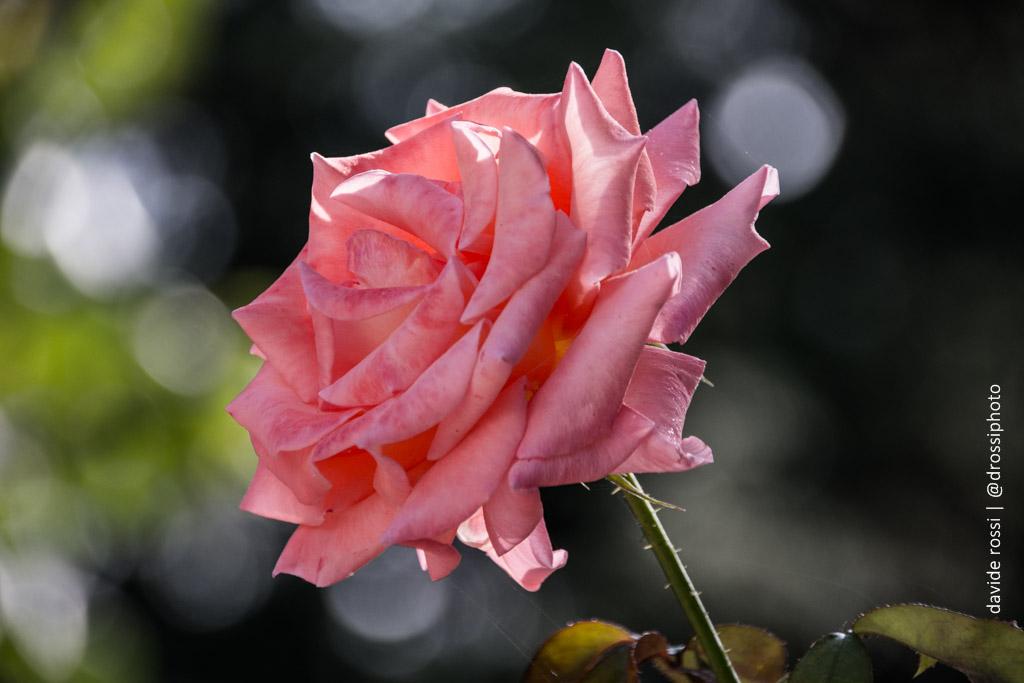 Rosa Fiore di rara eleganza - progetto immaginieparole