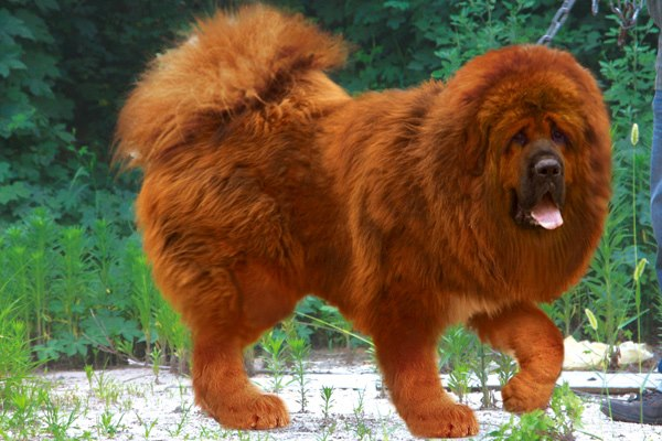 giant red tibetan mastiff - photo #7