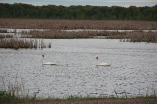 photo of trumpeter swan pair
