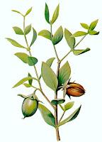 Jojoba - Simmondsia chinensis