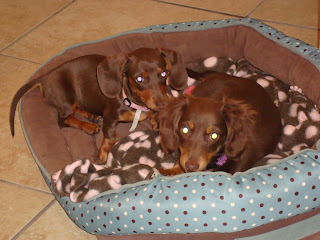 our dachshund puppies