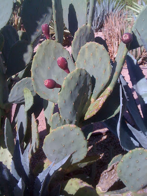 Opuntia, prickly pear