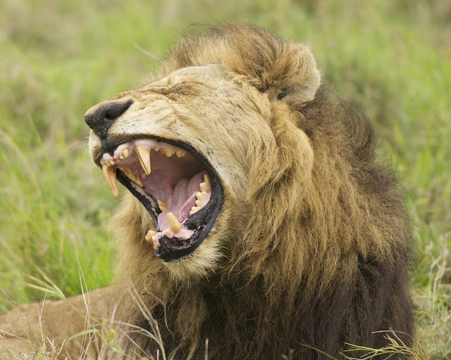 MAle lion -yawning